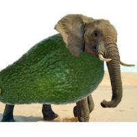 פיל אבוקדו