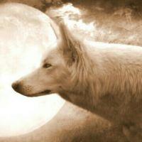 פרח הזאב